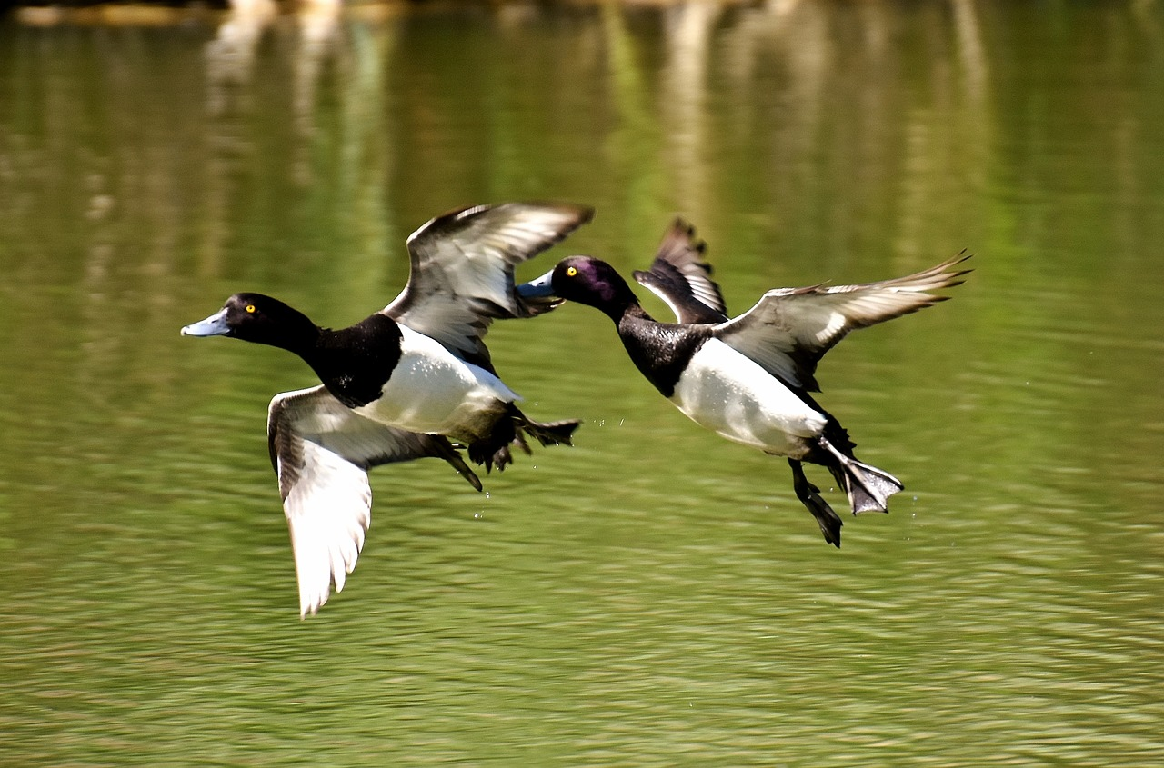 tufted-duck-2393997_1280