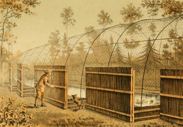 1 Decoymannen lockar änder in i decoyens kanal med hjälp av sin hund