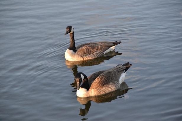 goose-1563915_960_720