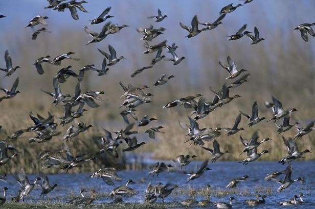 mixed-duck-flock-1665353_1280