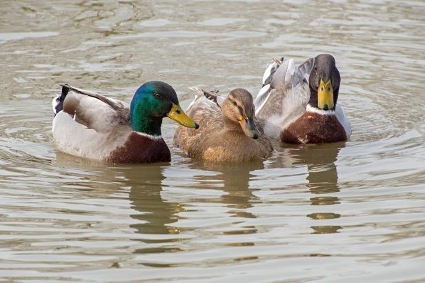 duck-2140731_1280
