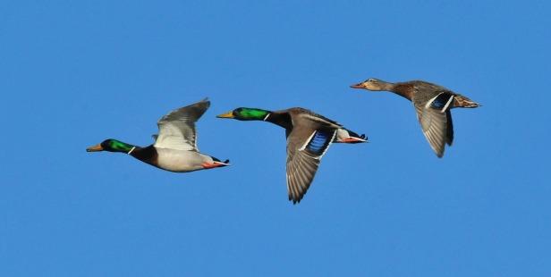 mallard-ducks-931139_1280