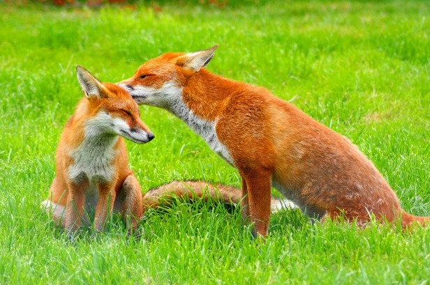 red-foxes-3757773_1280